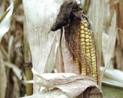 Drought-Stressed Corn