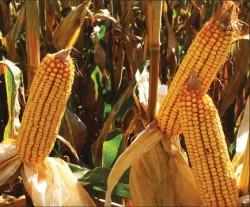 Corn up close