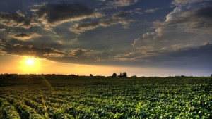 Soybean Field Sunset