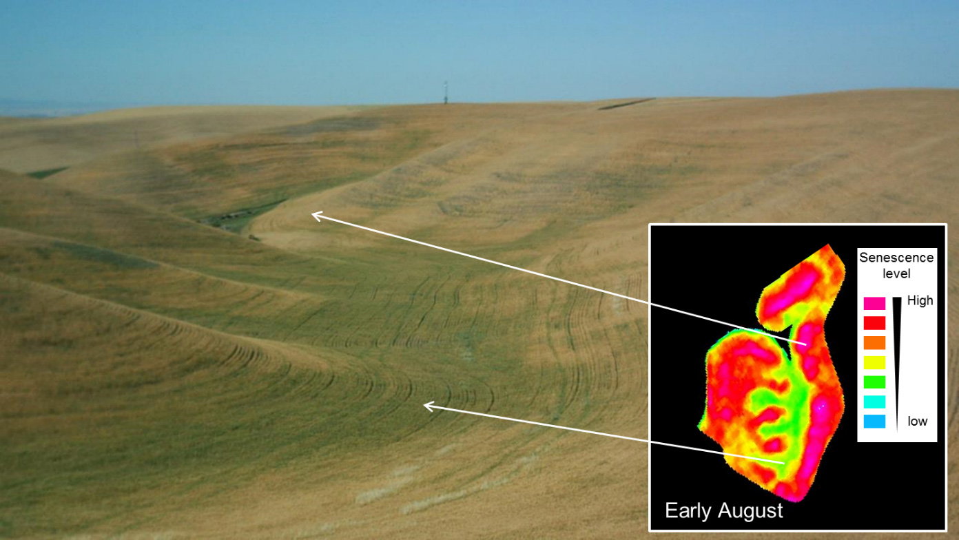 Figure 2: Drying pattern within the same wheat field in Washington State shortly before harvest in early August.