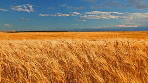 Western Canada Wheat field