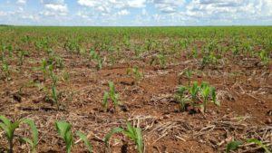 Brazil soil corn crop