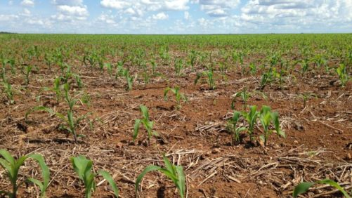 Brazil soil corn crop