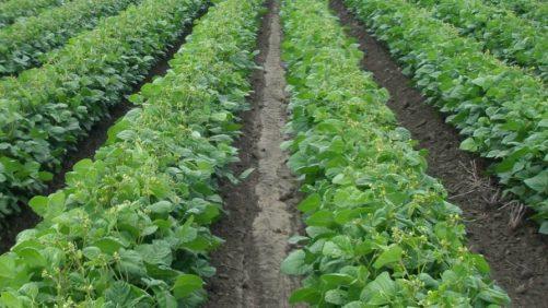 Mung beans Australia