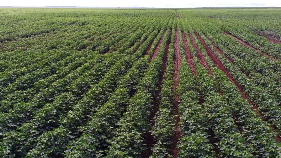Nematodes in cotton