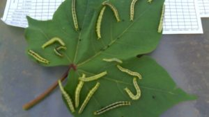 Pests-on-cotton-crop-leaves