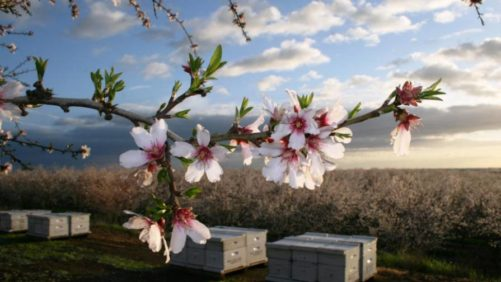 Almond-trees-blooming