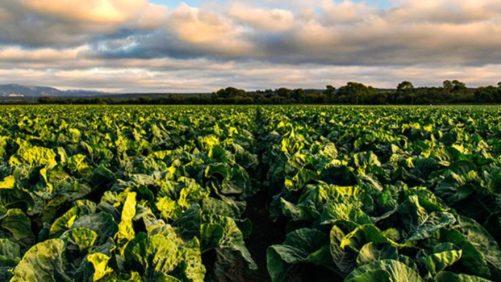 Lettuce-field